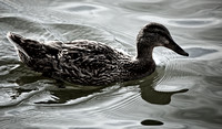 Nature Photography: Duck